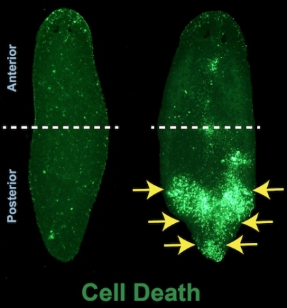 A picture of a normal flatworm on the left compared with a flatworm where the Ubc9 gene was shut off. The Ubc9 worm has a glowing green tail, indicating massive posterior cell death.